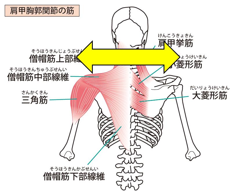 骨格によって肩幅が広い
